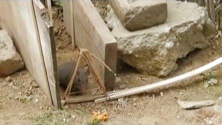 竹弓捕鼠陷阱