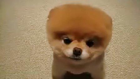 超级可爱方脑壳狗狗