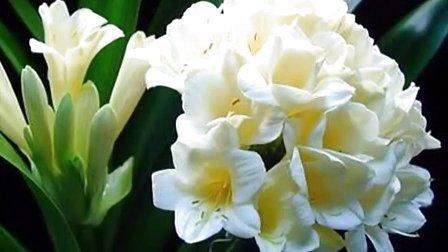 兰花图片欣赏