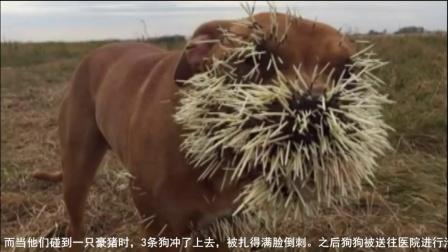 加拿大宠物狗攻击豪猪被扎满倒刺