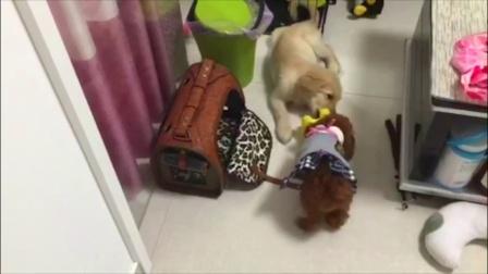 【火龙果的日常】爆笑!小泰迪抢玩具,与大狗斗智斗勇
