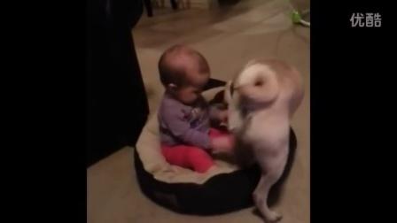 【冯导】寶寶霸占了狗窩,汪星人表示不能忍了,笑瘋了!