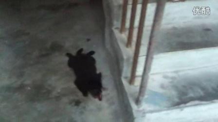 (BT青年帮)VLOG:与君哥家的小狗(small black)玩耍