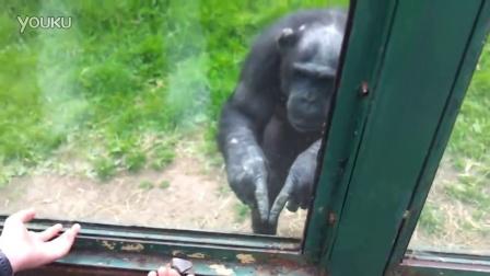 【冯导】黑猩猩手语求救:救我!放我出去