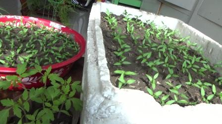 年复一年,又是到了培育小苗的季节