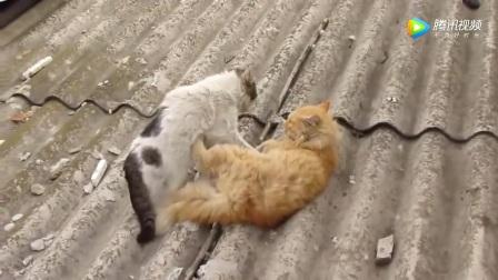 实拍流浪猫打架,这要杀死对手的节奏