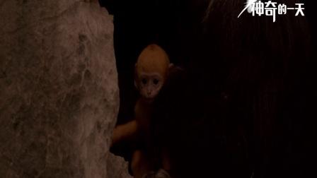 《地球:神奇的一天》白头叶猴特辑