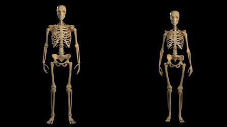 3D模型:人体解剖 Human Anatomy