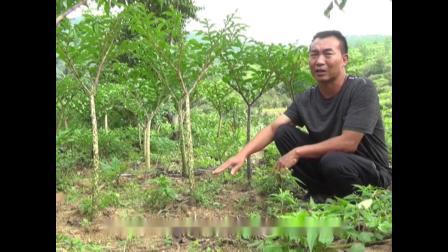 仁和区 林下种植魔芋保林益林促林增收