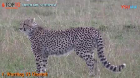 疯狂的动物之猎豹与野猪之间的战斗