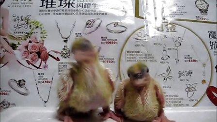 雏鸽成长记录