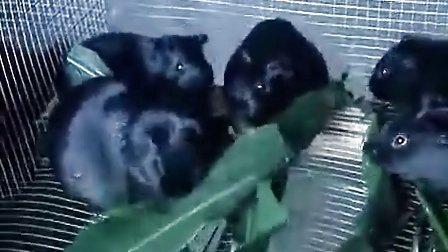 广东广州市从化太平镇黑豚养殖 黑豚养殖技术  黑豚养殖视频   黑豚养殖前景