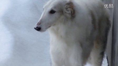 牧家-苏俄猎狼犬汀娜&阿帕奇