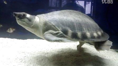 (20120730)金猪独立 大猪鼻龟
