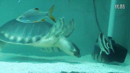 (20121216)超级大混养 大猪鼻龟虎银龙