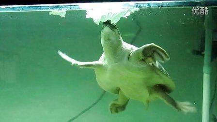 (20121207)23cm大猪鼻龟啃白菜