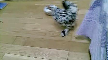 一只小鸡莫名兴奋之后......