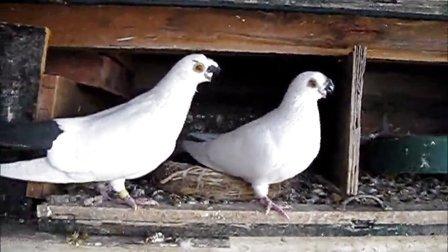 冬天的鸽子