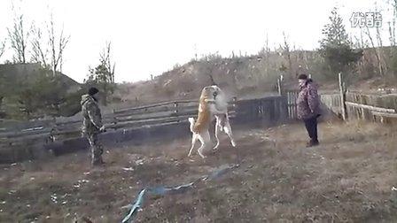 猎狼犬3.5年
