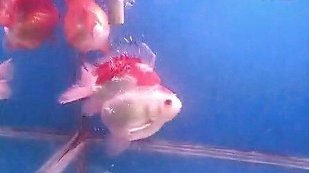两条高背鎏金-鱼乐金鱼