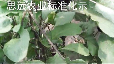 思远农业圆茄种植管理技术韩立明