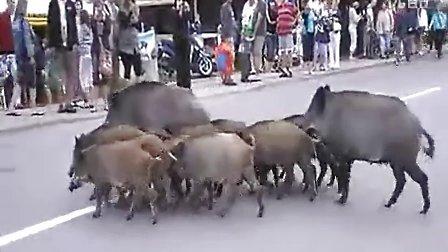 动物都守交通规矩!排队过马路山猪!【囧囧牛】
