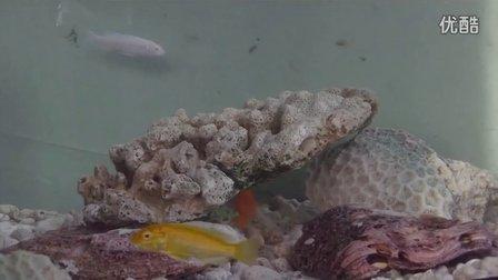 2013小非鲷(马鲷)缸:非洲王子、白马王子、血里红、闪电王子