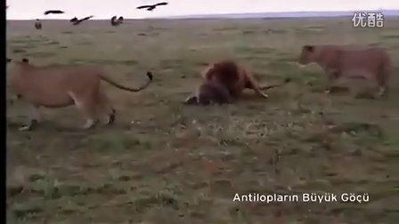 獅子vs鬣狗
