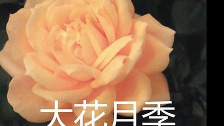 玫瑰苗月季苗大花月季