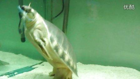 (20130321)肥肥吃鳌虾