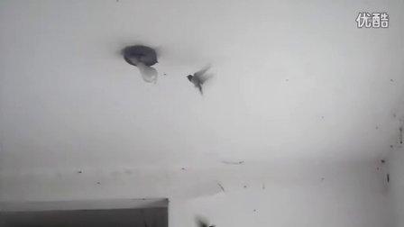 飞进办公室的两只燕子
