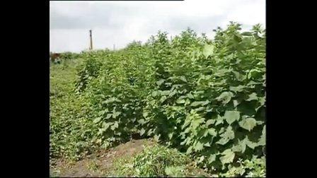 树莓高效栽培技术