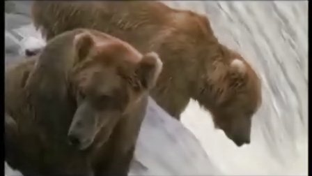 Grizzly Bears fishing with their own unique method