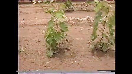 葡萄栽培技术一点通