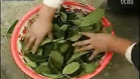 桂花树种植技术视频,订购电话:13813350130
