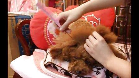 艾丰演绎如何给贵宾犬扎辫子留长头发假耳毛的作用剪嘴毛
