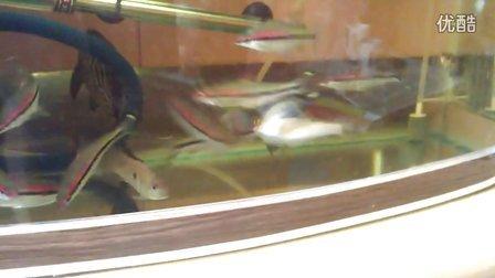一眉道人鱼 食土鲷