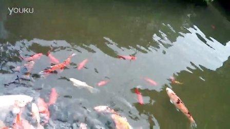 池塘里好大的鲤鱼(小米2拍摄)