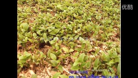 2013年桂花种子价格,桂花净籽图片,桂花苗木图片