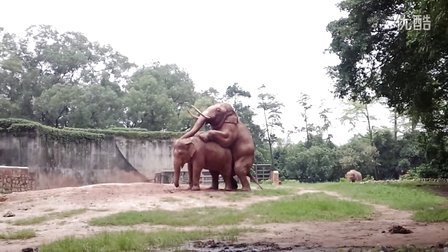 正午 广州动物园大象交配