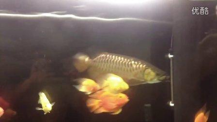 P 龙鱼第一次吃蜈蚣,生猛啊!