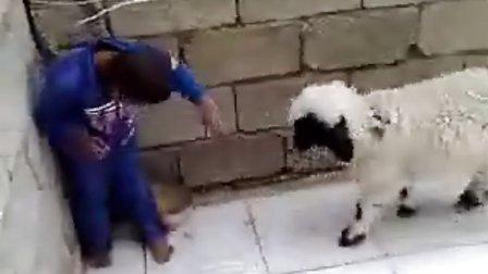 小孩斗羊!太搞笑了!