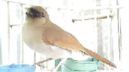 MOV0329A菏泽侯哥的八音鸟、棕噪鹛