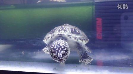 墨西哥巨蛋龟和剃刀龟