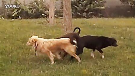 三只小狗狗交配_标清