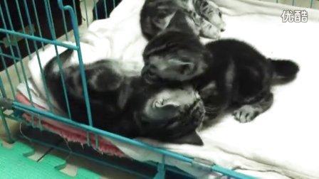 美国短毛猫宝宝