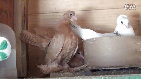 鸽舍内黄天鹅雏