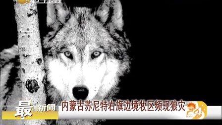 内蒙古苏尼特右旗边境牧区频现狼灾[第一时间]
