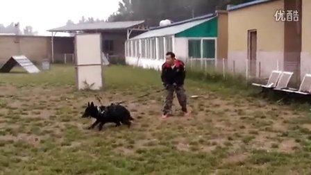 KNPV 德牧幼犬-Barda {母} Basa {公]
