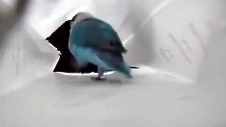 可爱的鹦鹉,好销魂的舞步